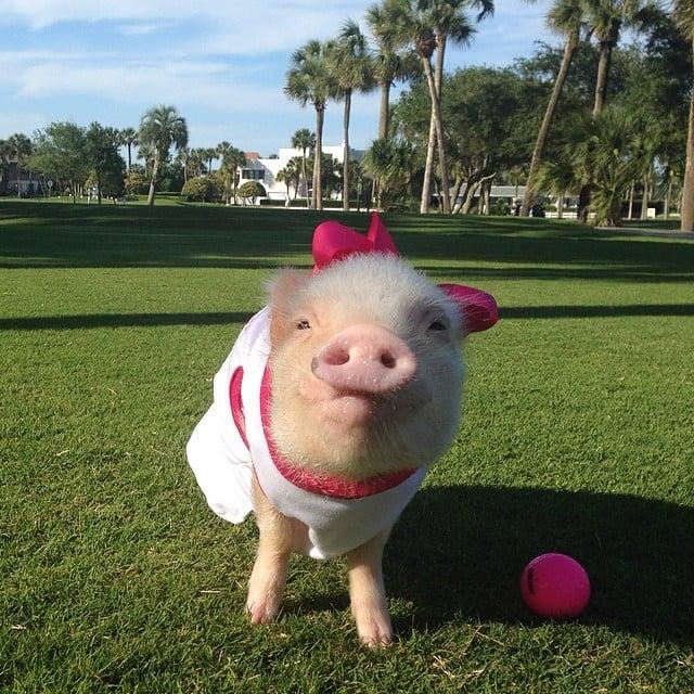 你也迷恋上胖呆萌的猪仔吗?猪小妹和猪小弟的可爱日记